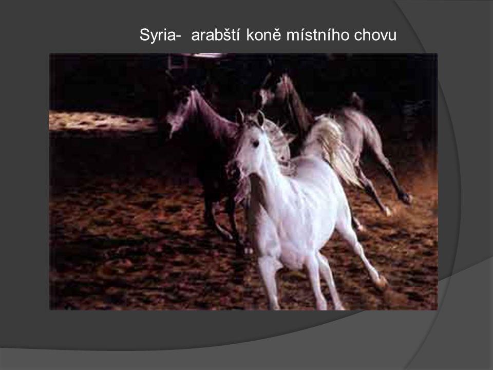 Syria- arabští koně místního chovu