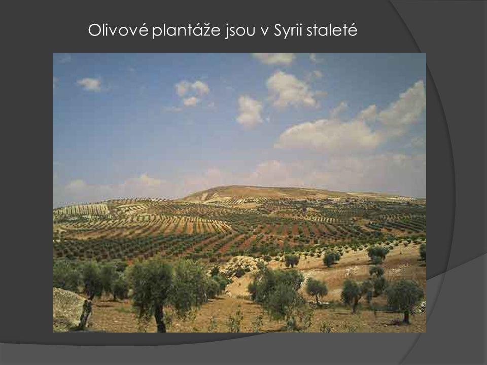Olivové plantáže jsou v Syrii staleté