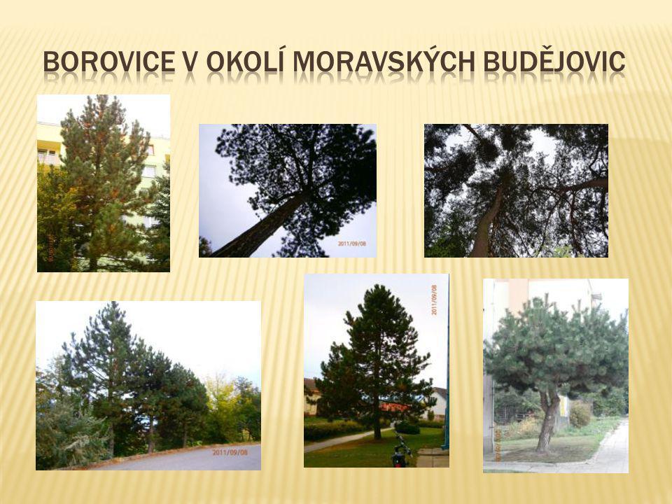 Borovice v okolí Moravských Budějovic