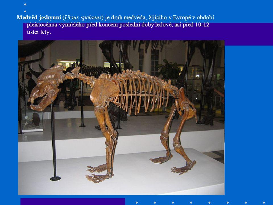 Medvěd jeskynní (Ursus spelaeus) je druh medvěda, žijícího v Evropě v období pleistocénua vymřelého před koncem poslední doby ledové, asi před 10-12 tisíci lety.