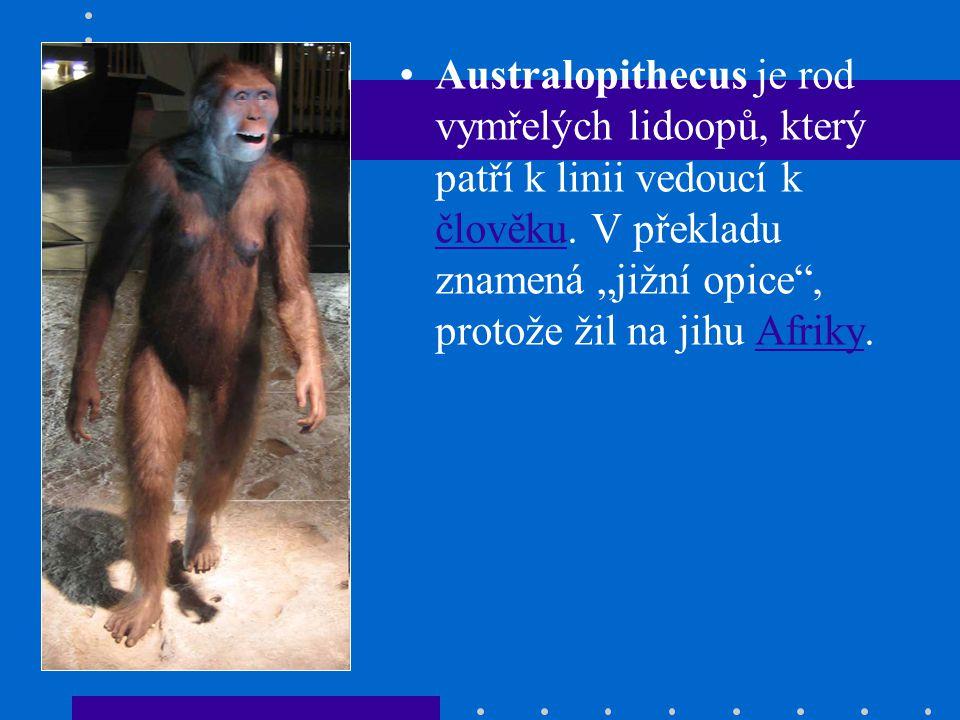 Australopithecus je rod vymřelých lidoopů, který patří k linii vedoucí k člověku.