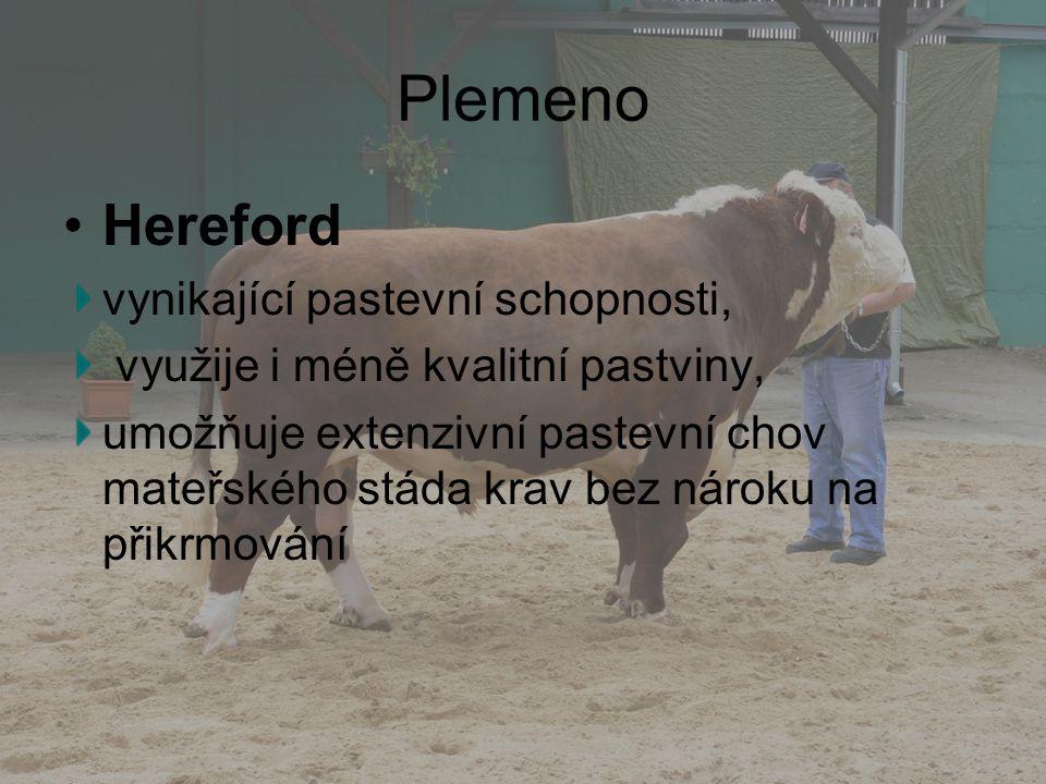Plemeno Hereford vynikající pastevní schopnosti,