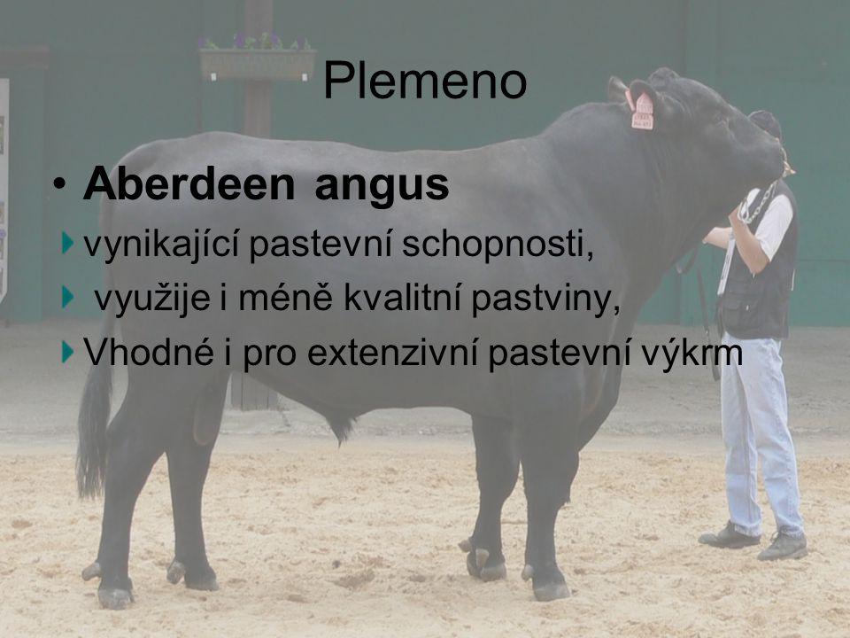 Plemeno Aberdeen angus vynikající pastevní schopnosti,