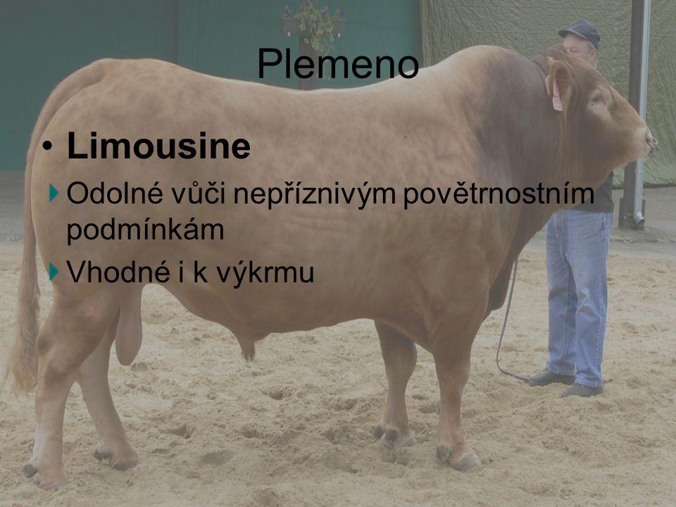 Plemeno Limousine Odolné vůči nepříznivým povětrnostním podmínkám