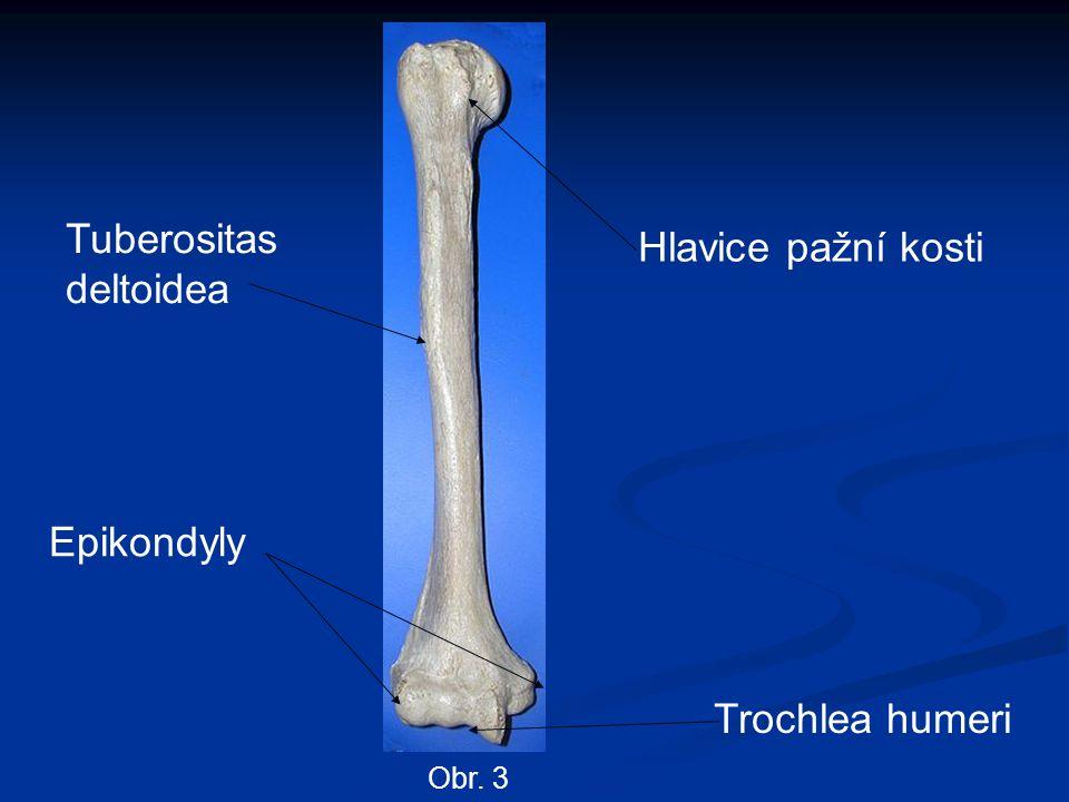Tuberositas deltoidea Hlavice pažní kosti