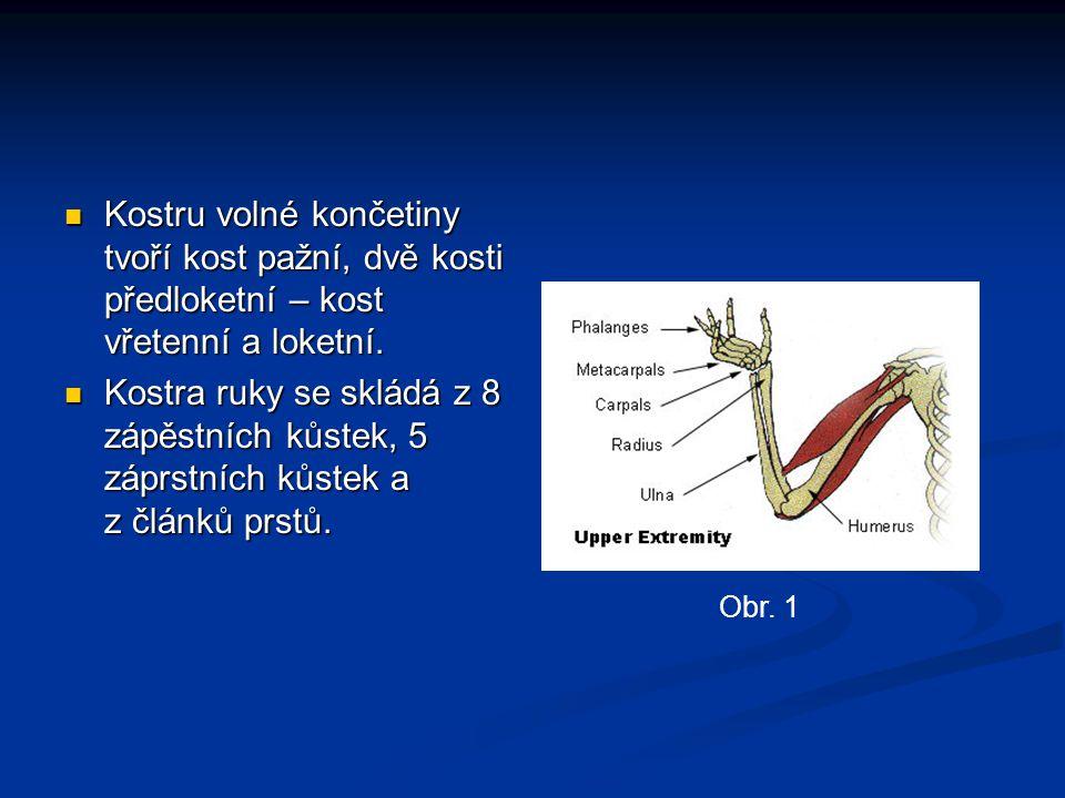 Kostru volné končetiny tvoří kost pažní, dvě kosti předloketní – kost vřetenní a loketní.