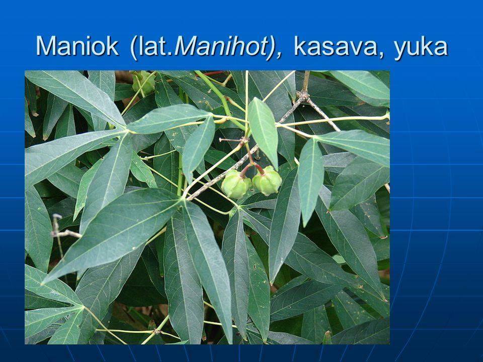 Maniok (lat.Manihot), kasava, yuka
