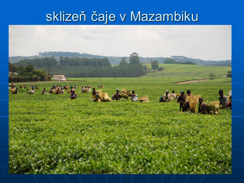sklizeň čaje v Mazambiku