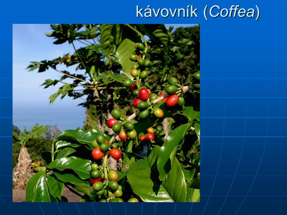 kávovník (Coffea)