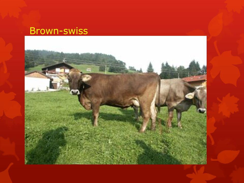 Brown-swiss
