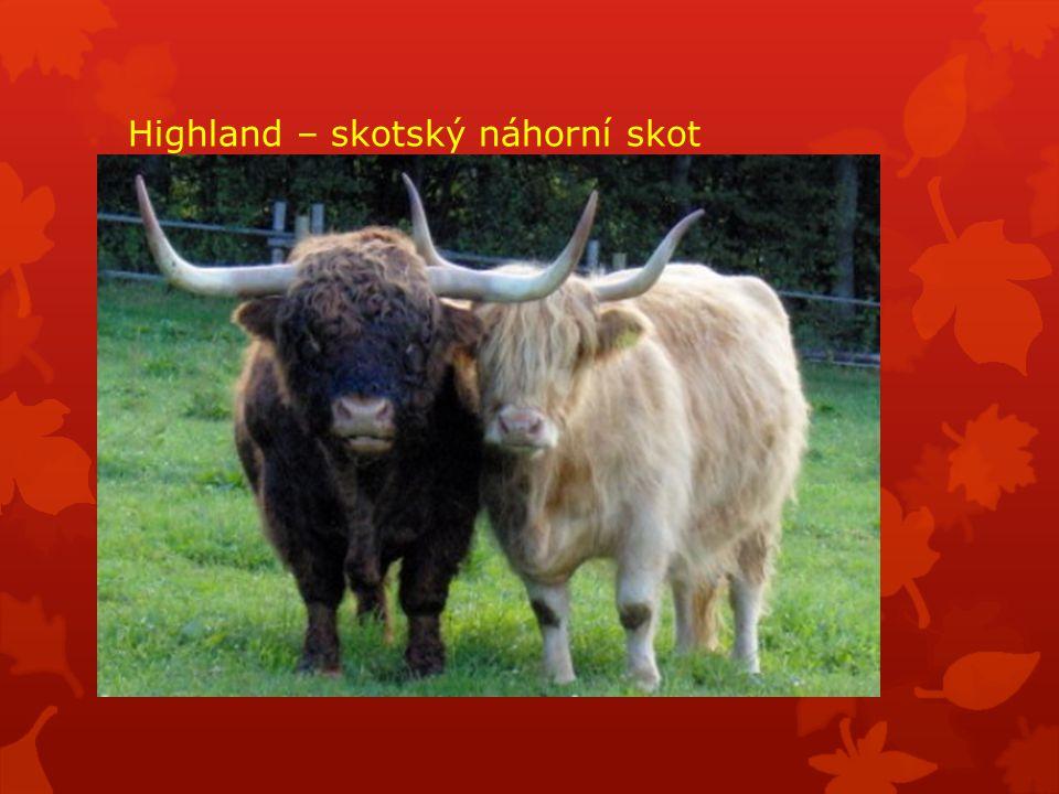 Highland – skotský náhorní skot