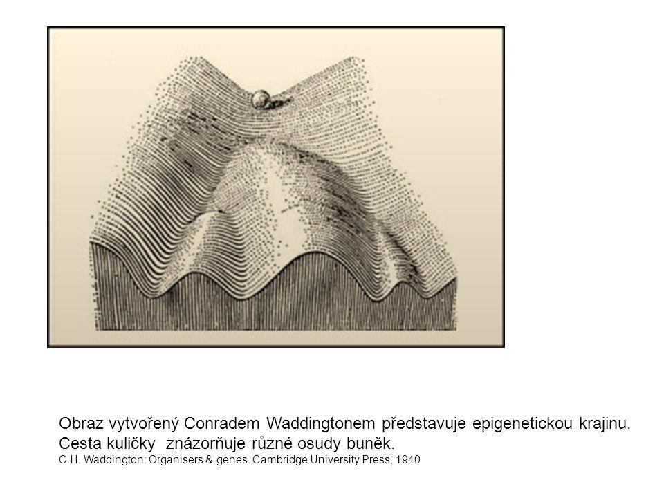 Obraz vytvořený Conradem Waddingtonem představuje epigenetickou krajinu. Cesta kuličky znázorňuje různé osudy buněk.