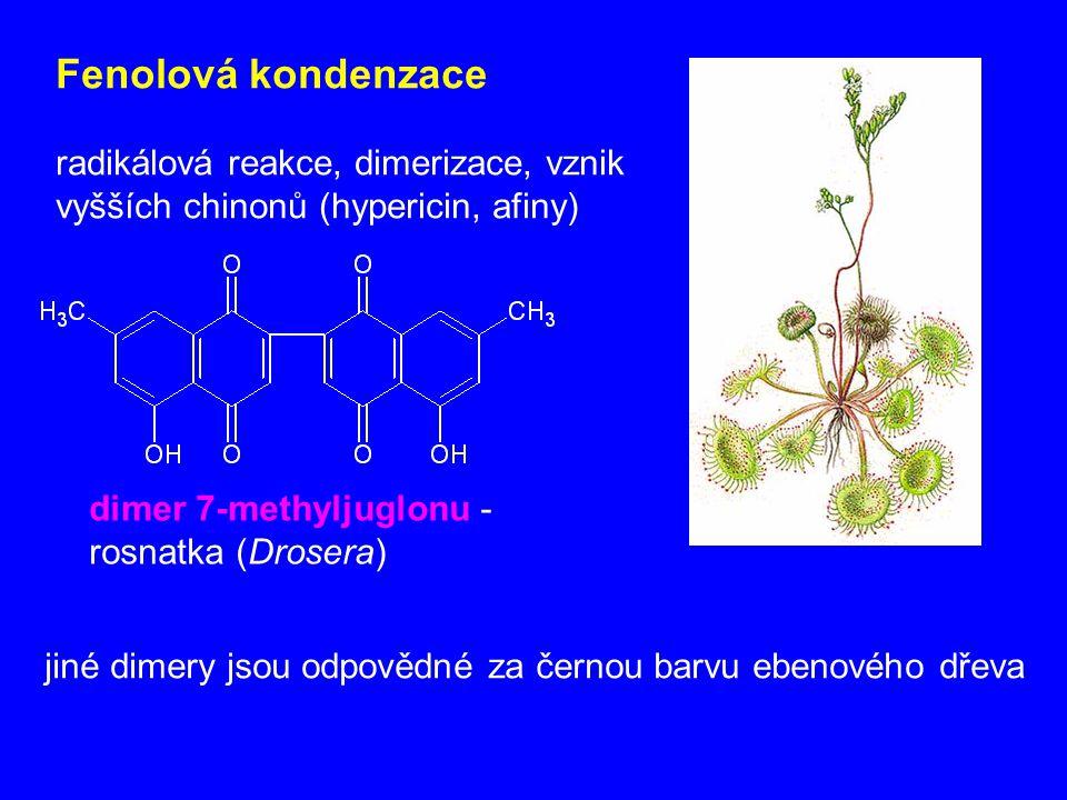 Fenolová kondenzace radikálová reakce, dimerizace, vznik vyšších chinonů (hypericin, afiny) dimer 7-methyljuglonu - rosnatka (Drosera)
