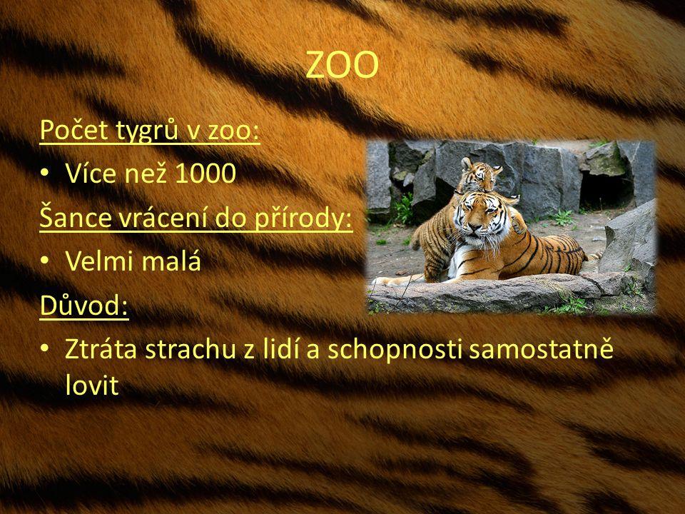 ZOO Počet tygrů v zoo: Více než 1000 Šance vrácení do přírody: