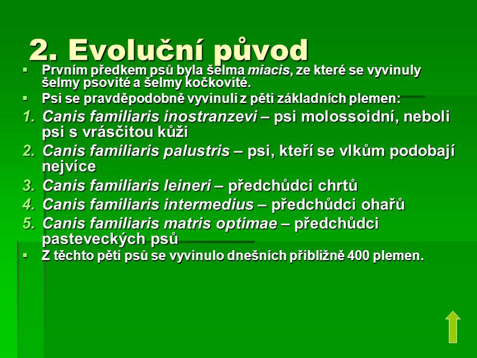 2. Evoluční původ Prvním předkem psů byla šelma miacis, ze které se vyvinuly šelmy psovité a šelmy kočkovité.