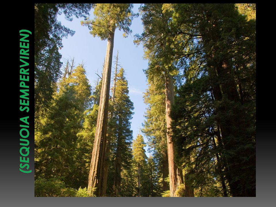(Sequoia semperviren)