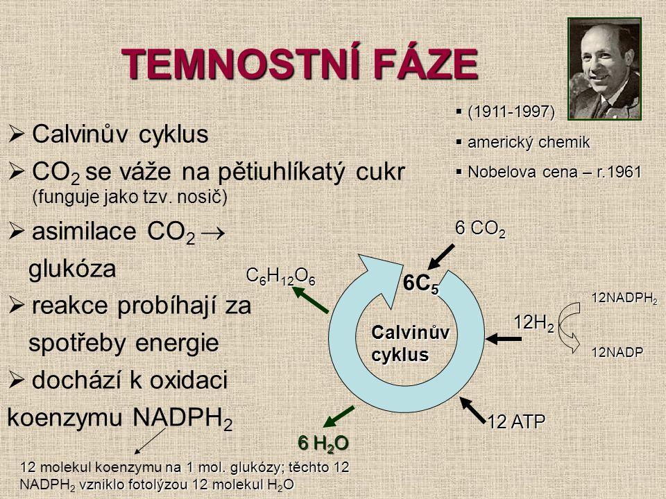 TEMNOSTNÍ FÁZE Calvinův cyklus