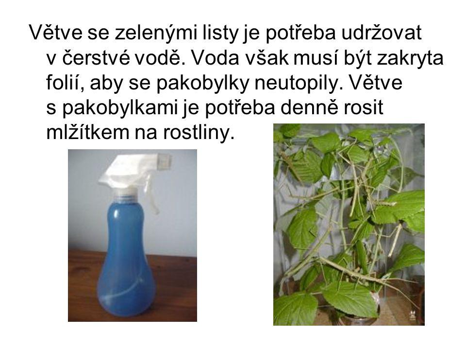 Větve se zelenými listy je potřeba udržovat v čerstvé vodě