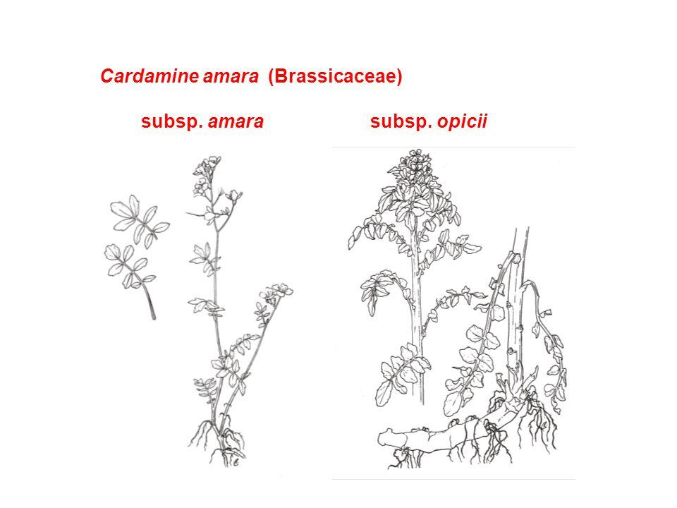 Cardamine amara (Brassicaceae)