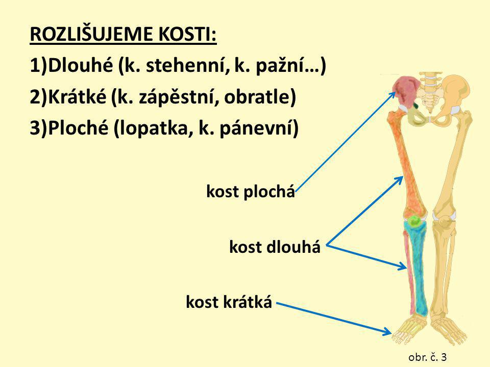 Dlouhé (k. stehenní, k. pažní…) Krátké (k. zápěstní, obratle)