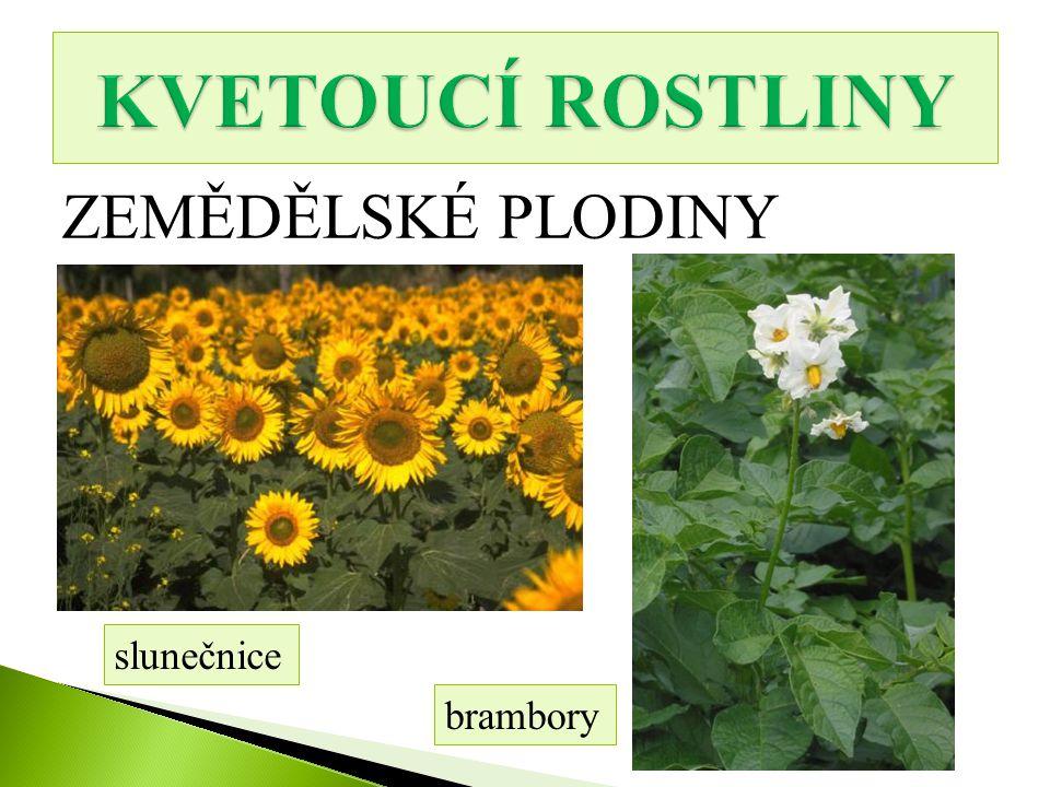 KVETOUCÍ ROSTLINY ZEMĚDĚLSKÉ PLODINY slunečnice brambory