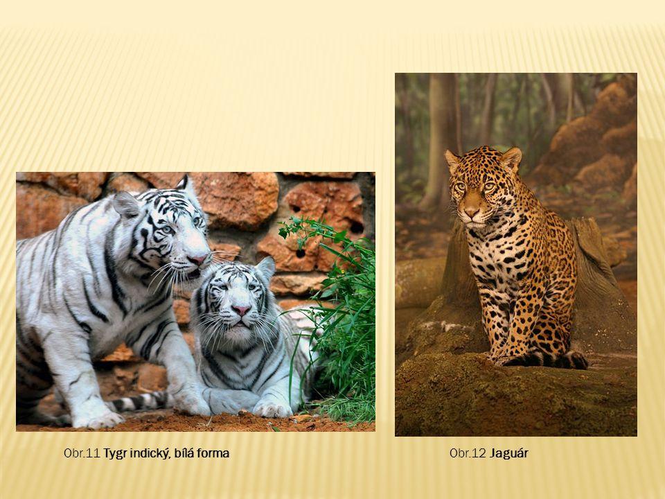 Obr.11 Tygr indický, bílá forma