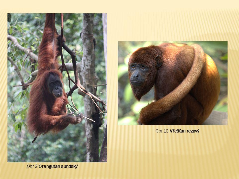 Obr.10 Vřešťan rezavý Obr.9 Orangutan sundský