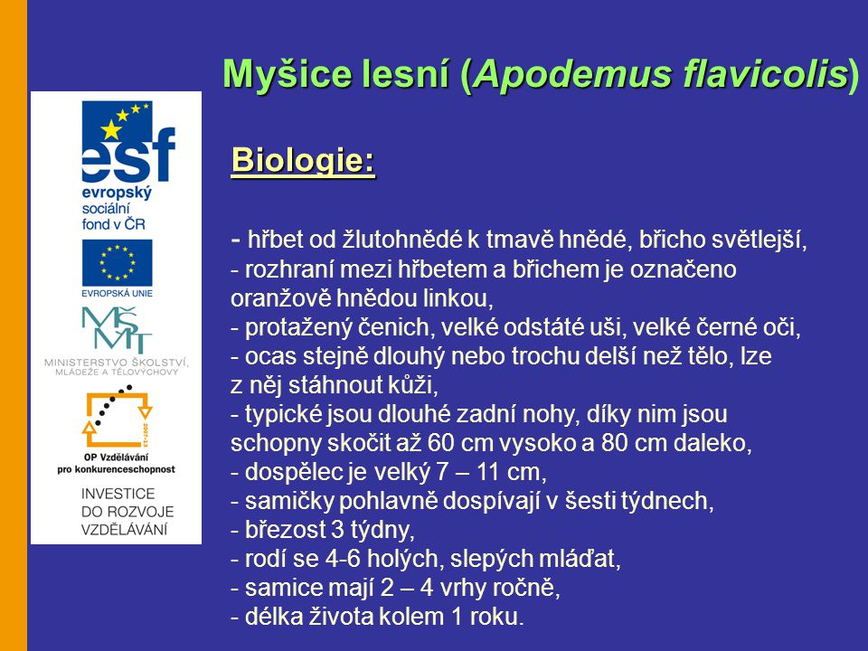 Myšice lesní (Apodemus flavicolis)