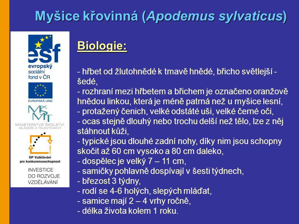 Myšice křovinná (Apodemus sylvaticus)