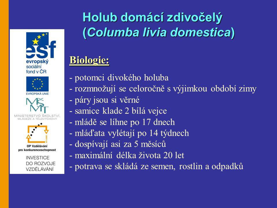 Holub domácí zdivočelý (Columba livia domestica)