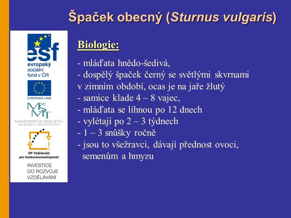 Špaček obecný (Sturnus vulgaris)