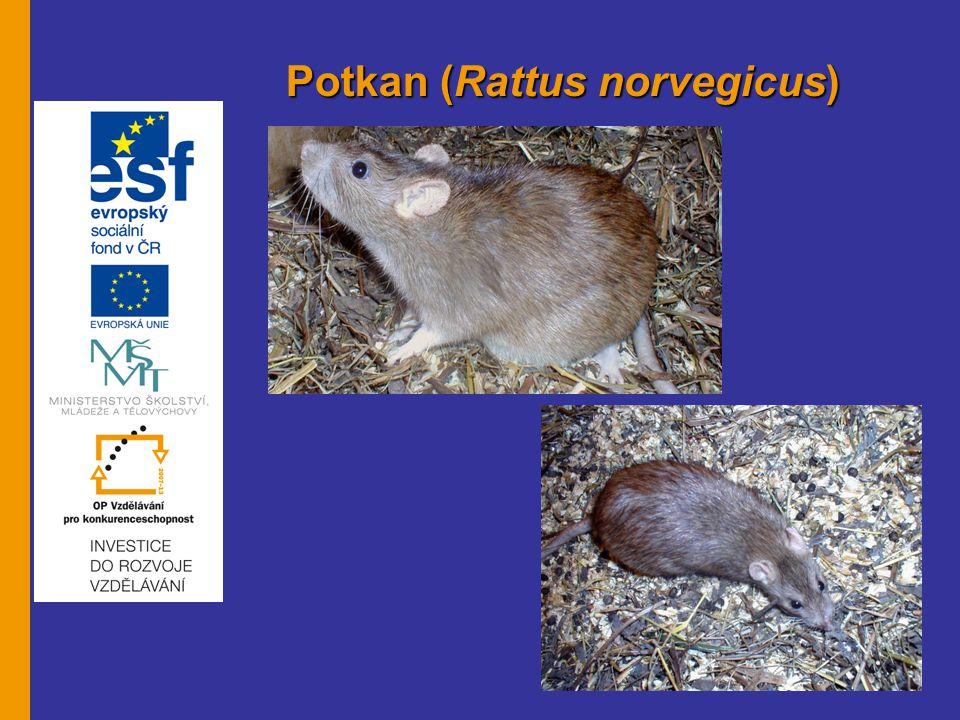 Potkan (Rattus norvegicus)