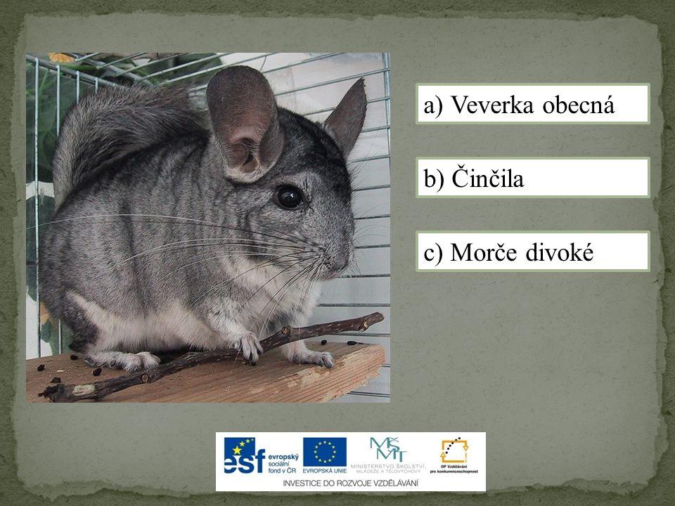 a) Veverka obecná b) Činčila c) Morče divoké