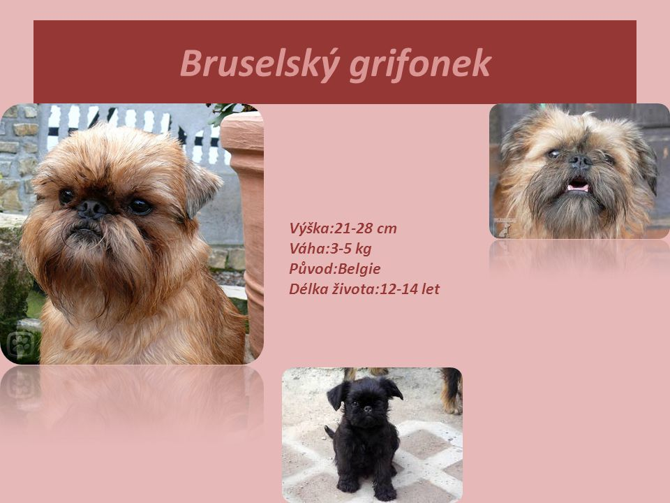 Bruselský grifonek Výška:21-28 cm Váha:3-5 kg Původ:Belgie Délka života:12-14 let.