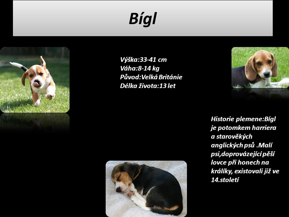 Bígl Výška:33-41 cm Váha:8-14 kg Původ:Velká Británie Délka života:13 let.