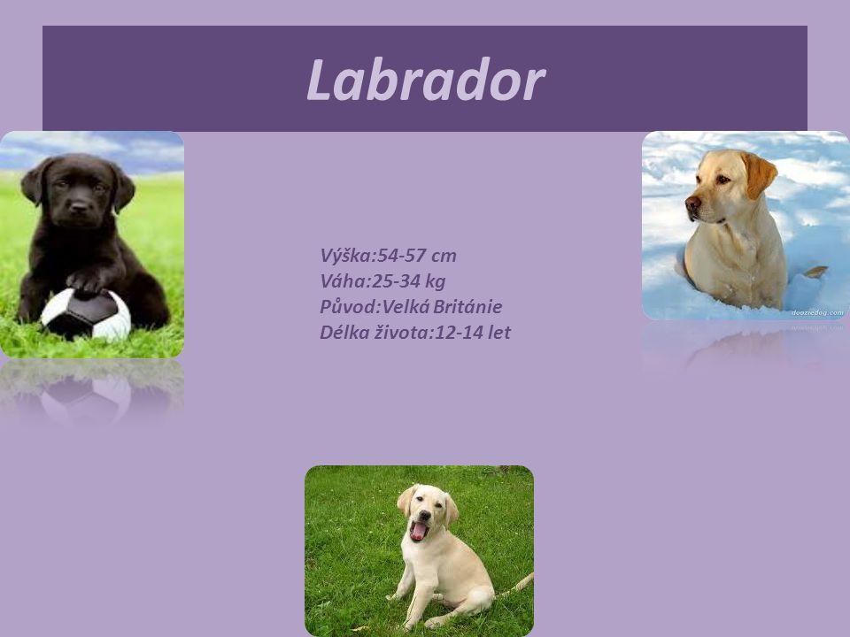 Labrador Výška:54-57 cm Váha:25-34 kg Původ:Velká Británie Délka života:12-14 let.