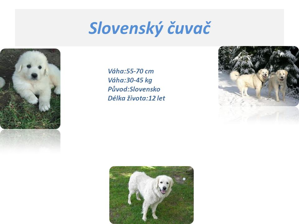 Slovenský čuvač Váha:55-70 cm Váha:30-45 kg Původ:Slovensko Délka života:12 let.