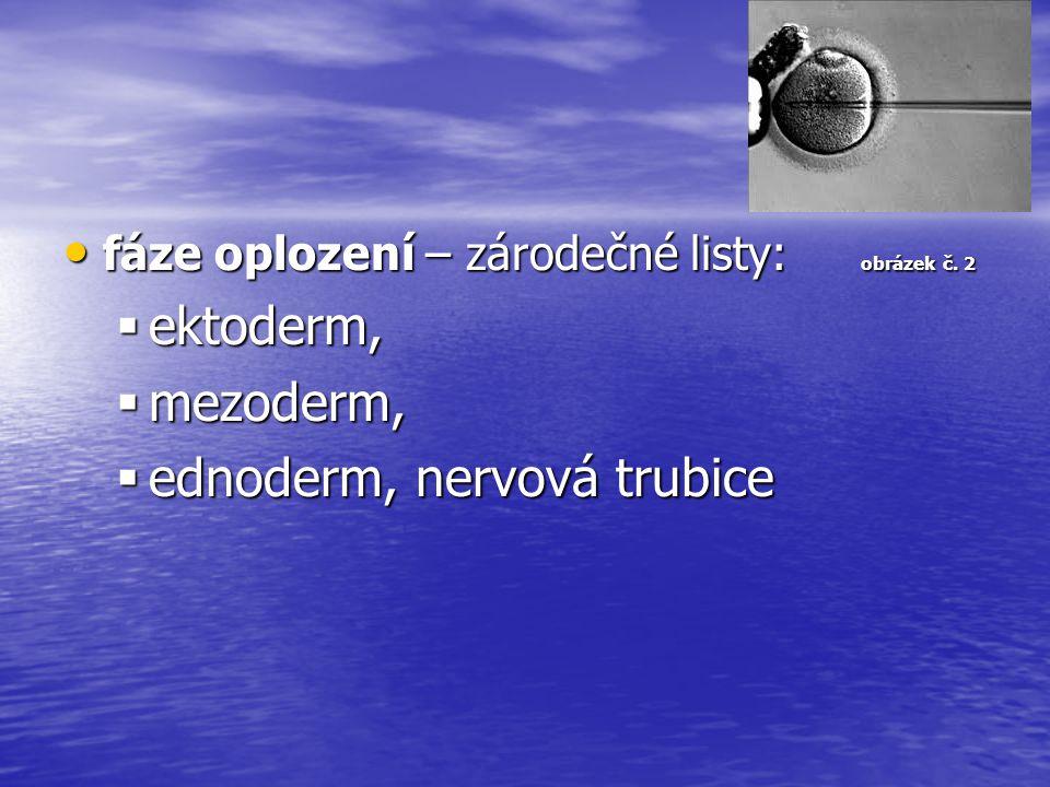 ednoderm, nervová trubice
