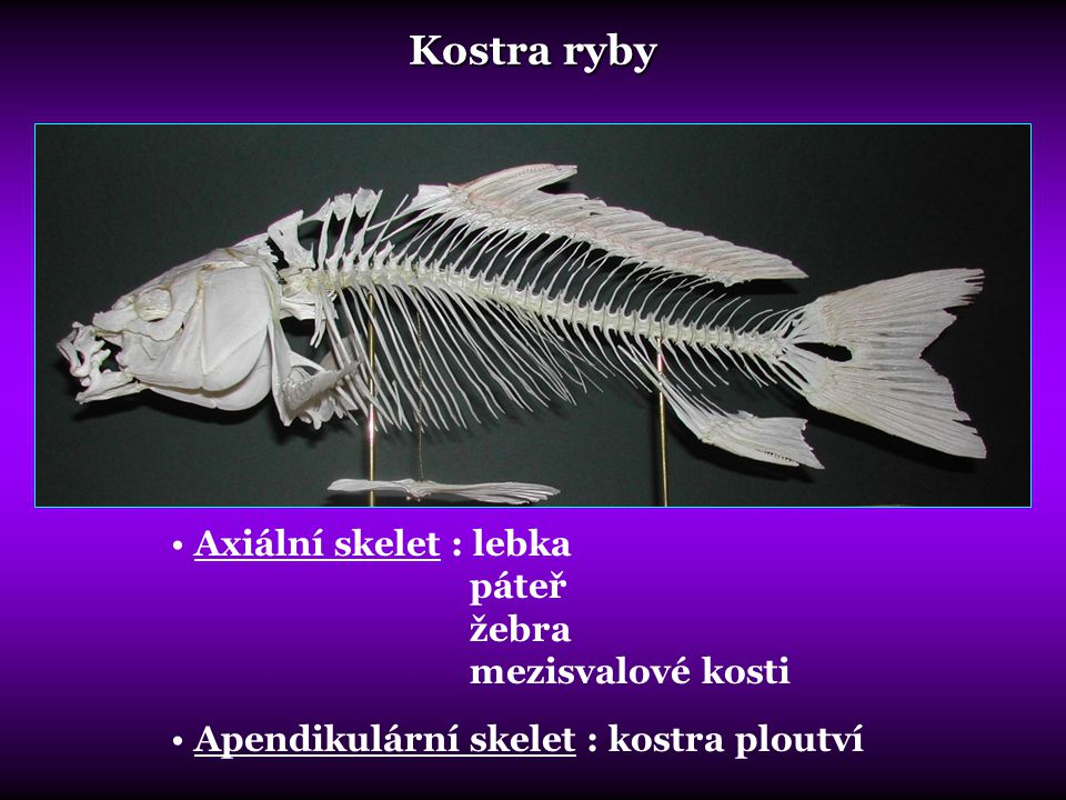 Kostra ryby Axiální skelet : lebka páteř žebra mezisvalové kosti