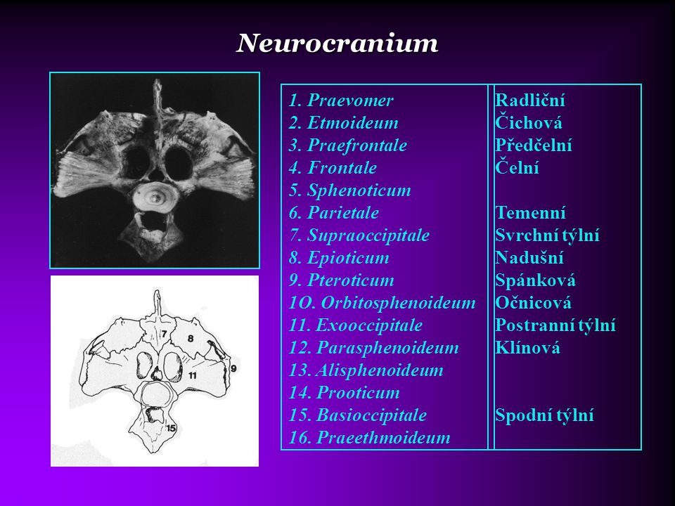 Neurocranium 1. Praevomer 2. Etmoideum 3. Praefrontale 4. Frontale
