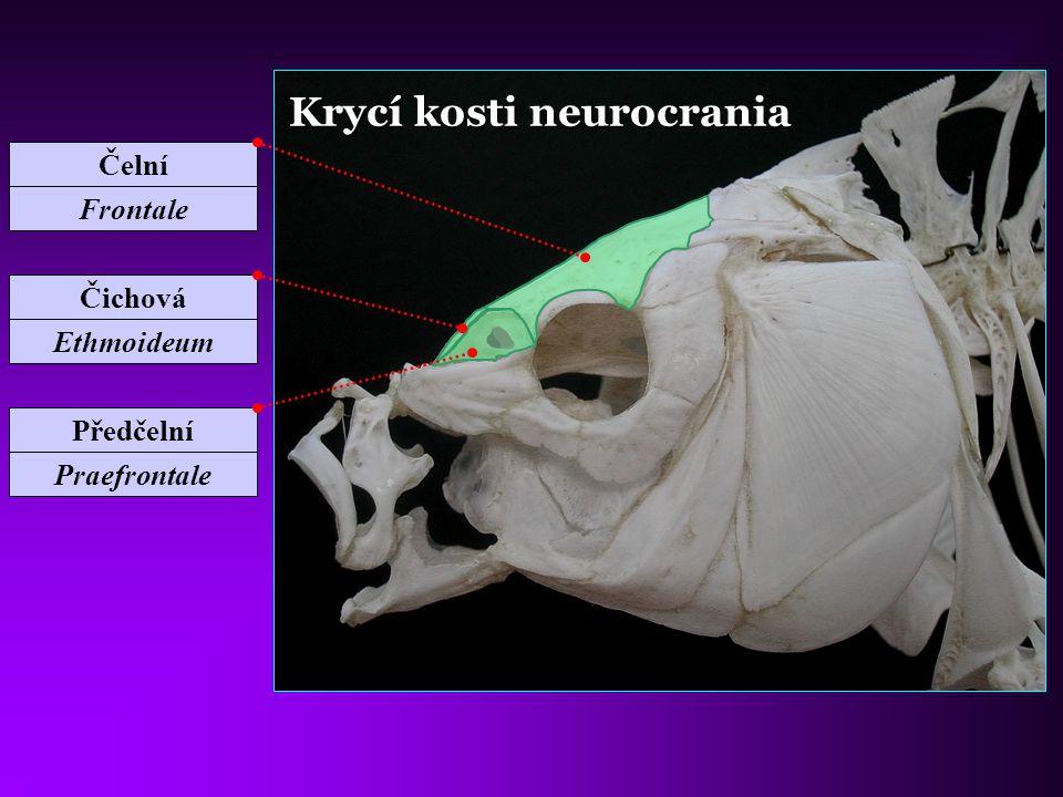 Krycí kosti neurocrania