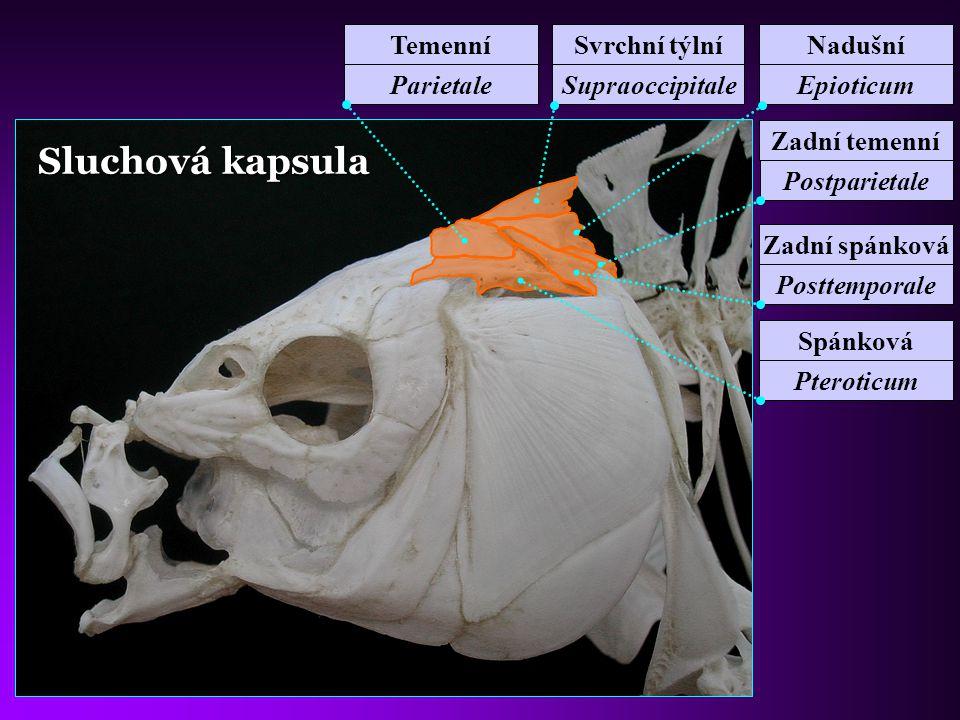 Sluchová kapsula Temenní Parietale Svrchní týlní Supraoccipitale