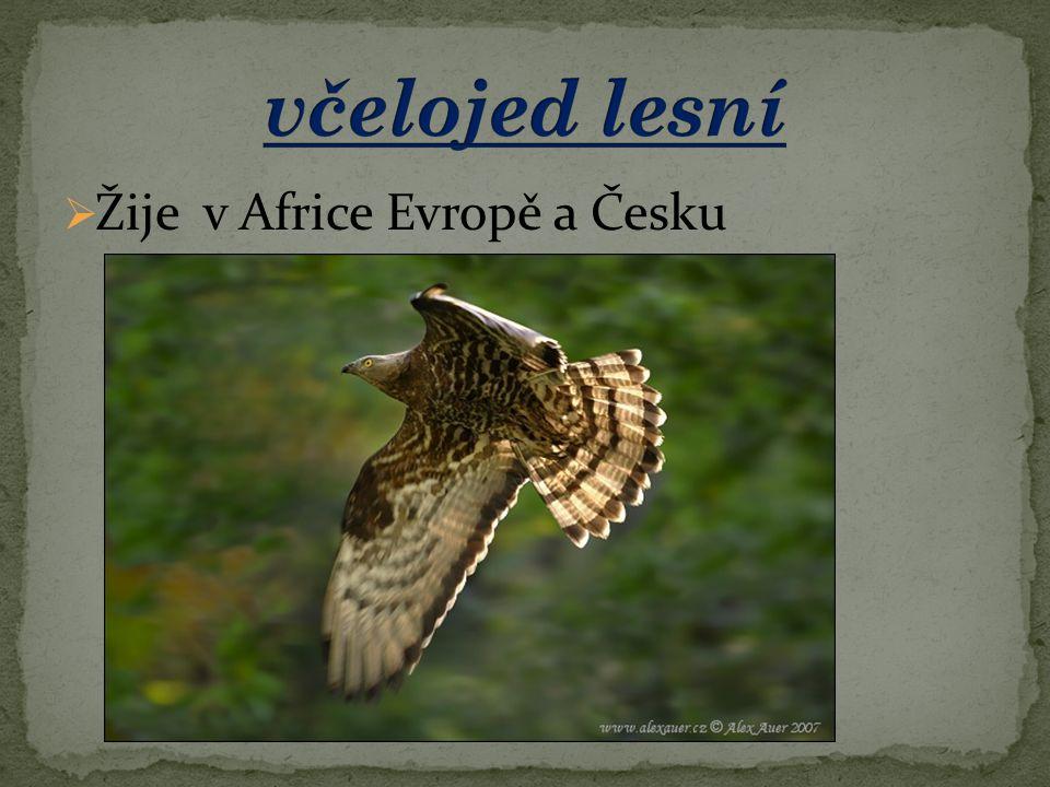 včelojed lesní Žije v Africe Evropě a Česku