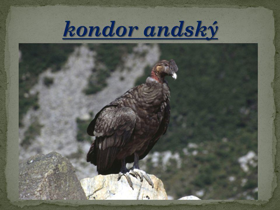 kondor andský