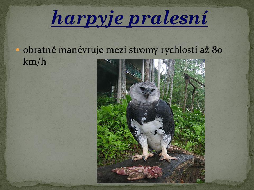 harpyje pralesní obratně manévruje mezi stromy rychlostí až 80 km/h