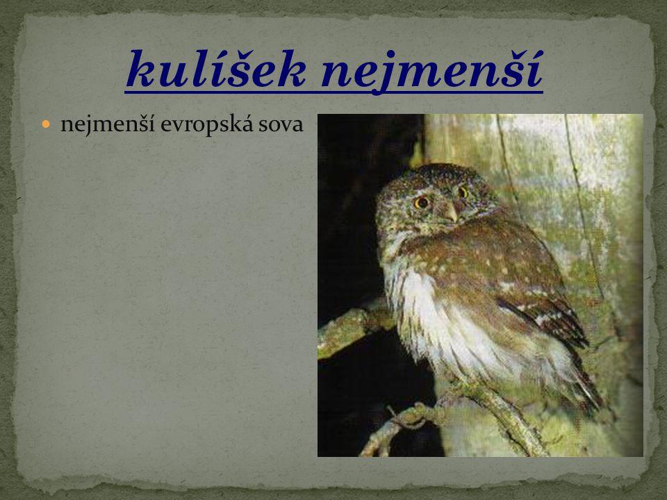 kulíšek nejmenší nejmenší evropská sova