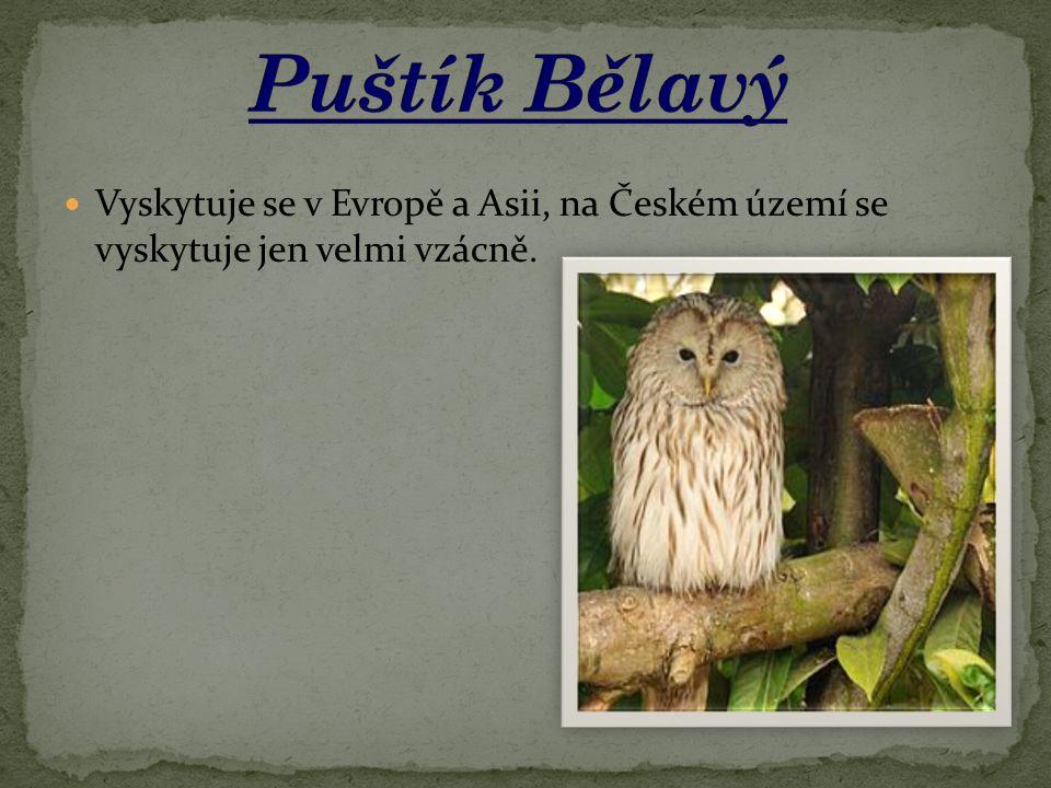 Puštík Bělavý Vyskytuje se v Evropě a Asii, na Českém území se vyskytuje jen velmi vzácně.