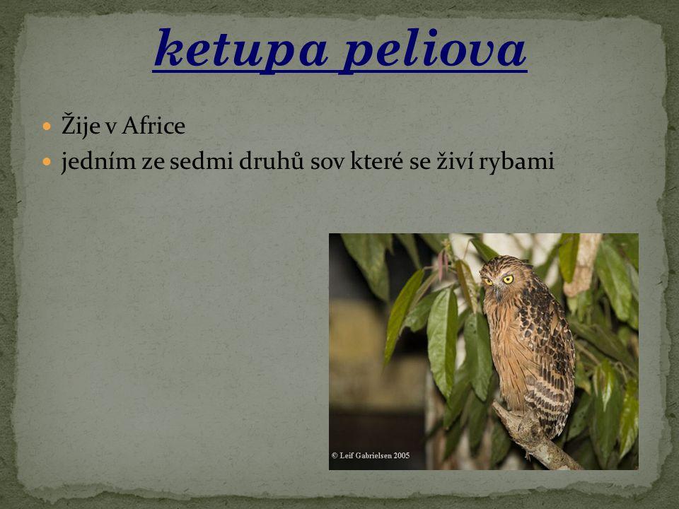 ketupa peliova Žije v Africe