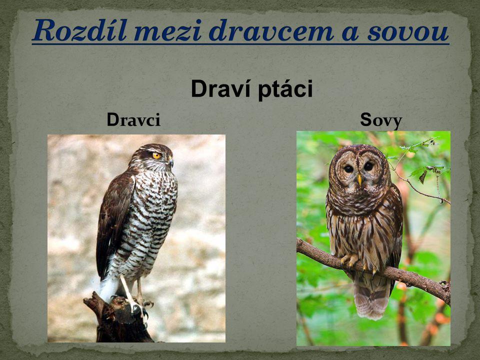 Rozdíl mezi dravcem a sovou