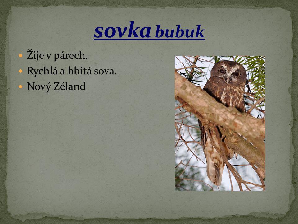 sovka bubuk Žije v párech. Rychlá a hbitá sova. Nový Zéland